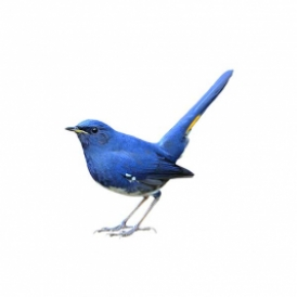 blue bird tweeting